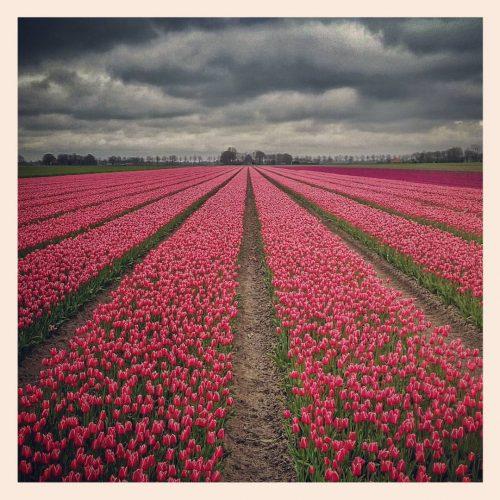 ML0007-beemster tulpen - instagram- fotografie van Marjolein Lensink - fotografie - Zaansgroen